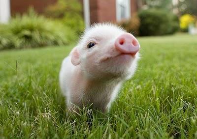 La felicità del maiale, fattore chiave nella qualità e nel sapore del prosciutto iberico