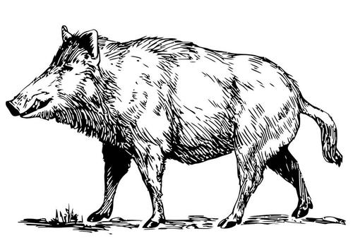 Origine ed evoluzione del suino iberico (II)