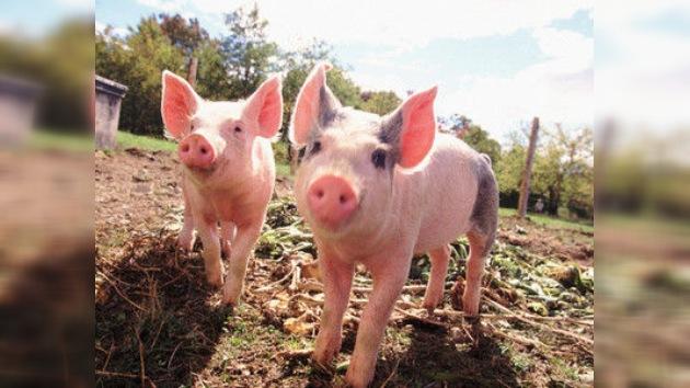 Del maiale ne sfruttiamo tutto… anche la sua mucosità gastrica