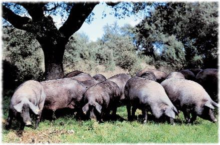 Prosciutto iberico di Jabugo 'El Repilado' (II)