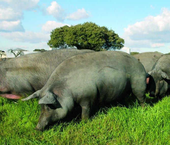 Conosciamo un po' meglio il mondo del maiale iberico